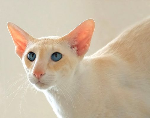 2006-0003-Siamese-red-point