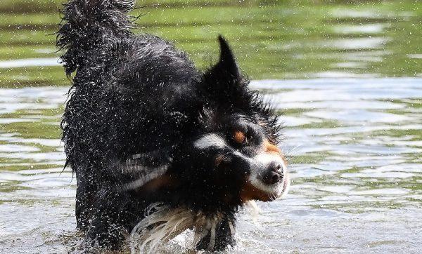 2006-0014-Berner-Sennenhund