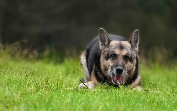 2007-0001-Deutscher-Schaeferhund