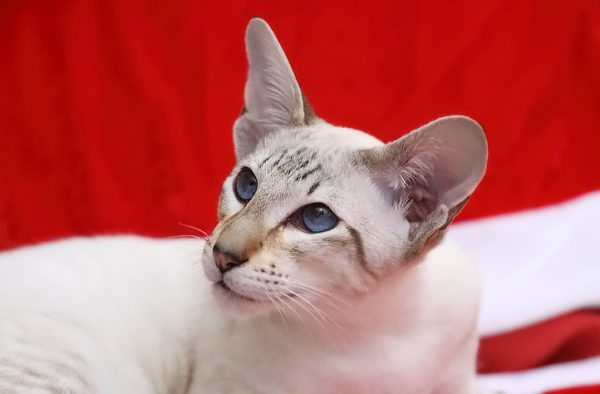2009-0001-Siamese-seal-tabby-point