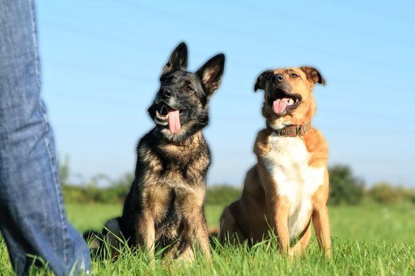 2011-10-0003-Deutscher-Schaeferhund-Boxer-Collie-Mix