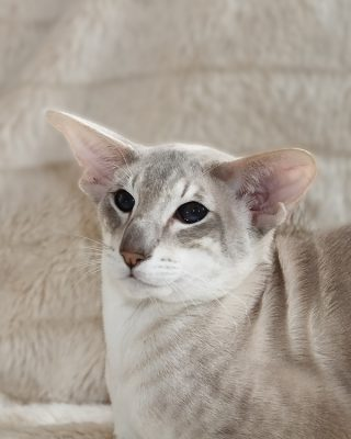 2013-04-FCa-0107-Siamese-blue-tabby-point